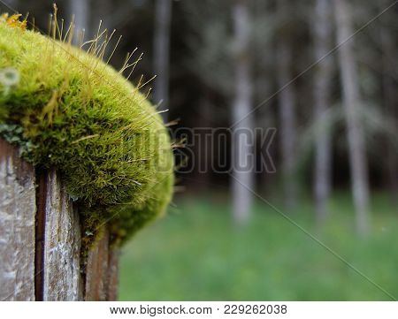 A Old Wooden Fence Post Covered With A Thick Layer Of Moss And Fungus Shoots For A Barrier Between A