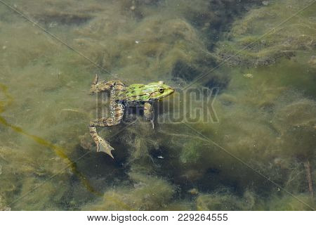 Green Frog Swimming In Water With Algae.