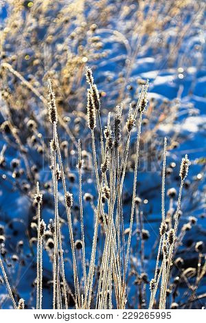 Morning Sunlight Shining Through Grass Covered Hoar Frost