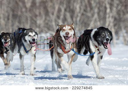 Kamchatka Peninsula, Russian Far East - February 25, 2017: Running Alaskan Sled Dog Team During Comp