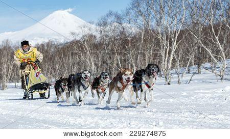 Kamchatka Peninsula, Russian Far East - Feb 25, 2017: Running Alaskan Sled Dog Team Kamchatka Musher