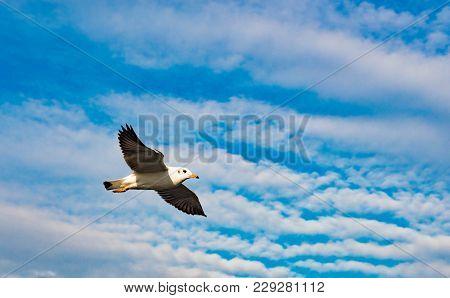 Freedom Concept, White Seagull Soaring In The Blue Sky In Miami.