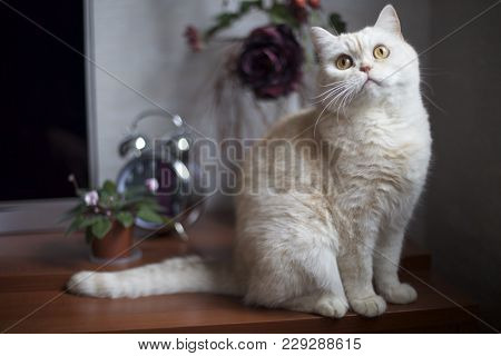 White Shorthair British Cat With Bright Yellow Eyes. Cat Of British Breed Sitting On Table With A Mi