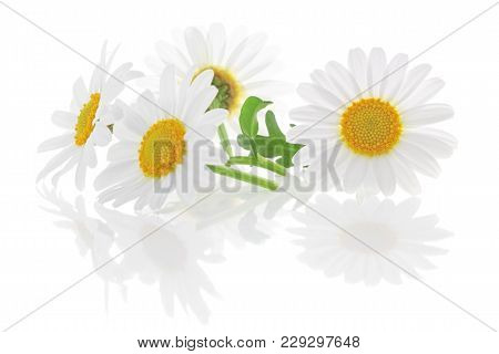 Daisies (margeriten) Isolated On White Background, Including Clipping Path Without Reflection. Backl