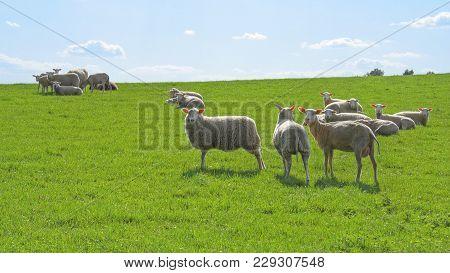 Dreamlike Scene Of A Herd Of Sheep On The Pasture, Lüneburger Heide, Germany. Backlit Photograph