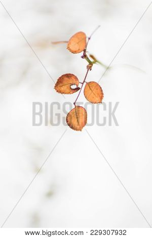 Orange Dry Leaves On A Branch Of A Rose Against A Snow Background
