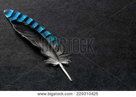 Blue Jay Feather On The Black Matte Background With Free Space