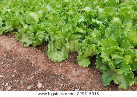 Green Lettuce Plants In Growth At Garden. Fresh Lettuce Farm