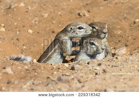 Family Of Ground Squirrels Carefully Come Out Of Their Burrow In The Kalahari