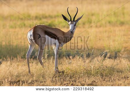 Close-up Of A Springbok Standing On The Short Grass Of A Plain In The Kgalagadi