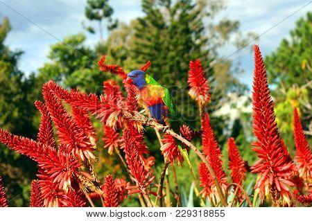 rainbow lorikeet (Trichoglossus moluccanus) australian colourful parrot