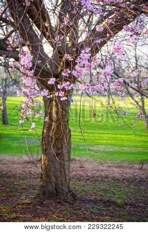 Cherry Blossoms In Bloom In Holmdel Park In New Jersey.