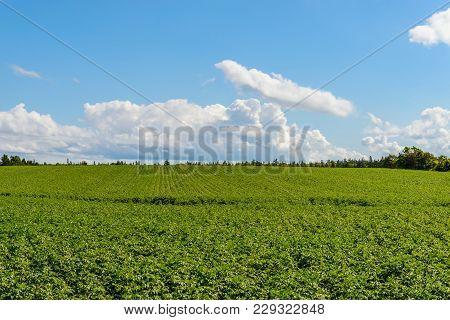 Green Field Of Potatoes (prince Edward Island , Canada)