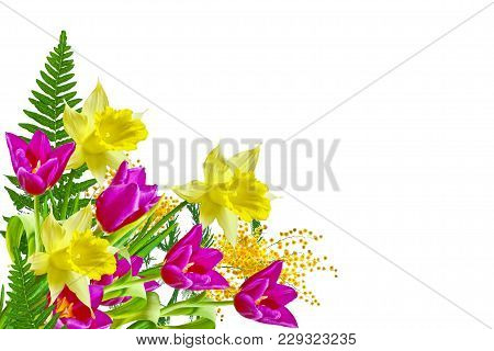 Spring Flowers Tulips Isolated On White Background. Mimosa