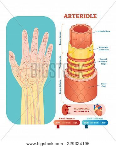Arteriole Anatomical Vector Illustration Cross Section With Tunica Externa, Media And Interna. Circu