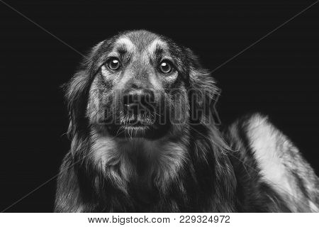 Beautiful Mixed Breed Dog On Black Background. Copy Space.
