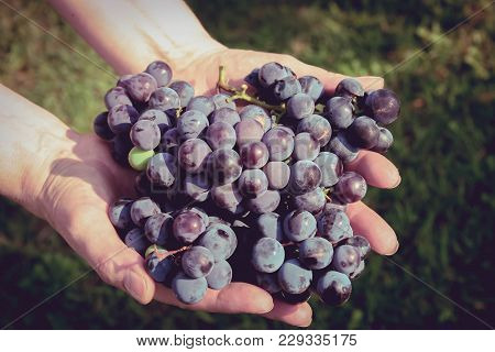 A Bountiful Harvest Of Plump Grapes Growing On The Vine