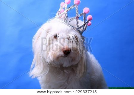 A Maltese Dog wears her Princess Crown. Dog Studio Portrait. Princess dog.