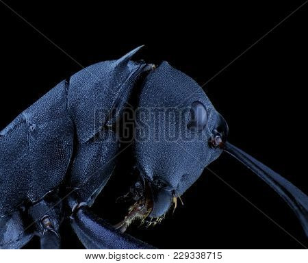 Close Up Of Black Ant From Side