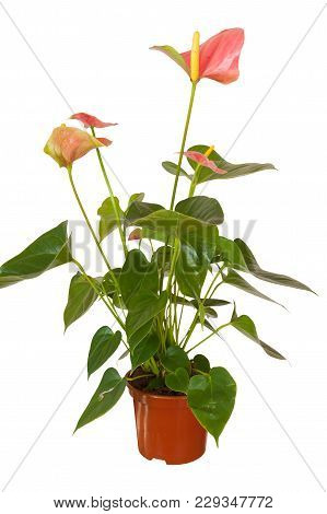 Blooming Anthurium Isolated On A White Background.