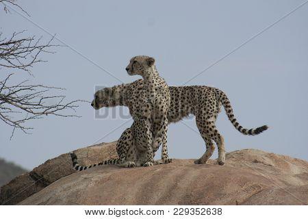 A Cheetah ( Acinonyx Jubatus) Duma In Swahili.
