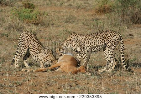 Cheetahs With A Kill( Acinonyx Jubatus) Duma.