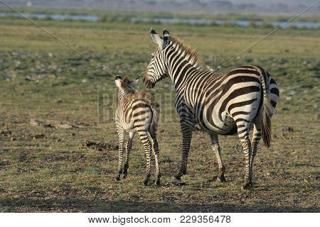 Burchells  Zebra  ( Equus Burchelli ) Mother And Her Young One In Amboseli  National Park Kenya.