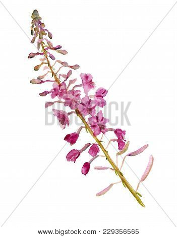 Watercolor Image Of Flowers Of Fireweed (willow Herbs) On White Background
