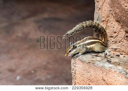 Close Up Indian Palm Squirrel Or Funambulus Palmarum On Stone Wall