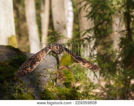 Asio Otus - Long-eared Owl In Fly In Forest In Czech Republic