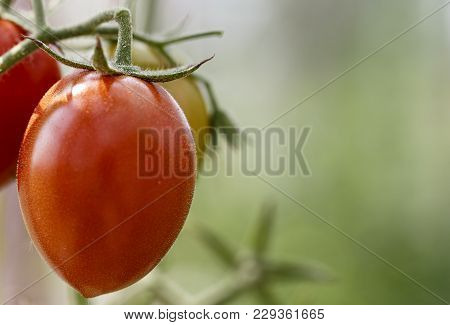 Tomatoes Grow On A Branch
