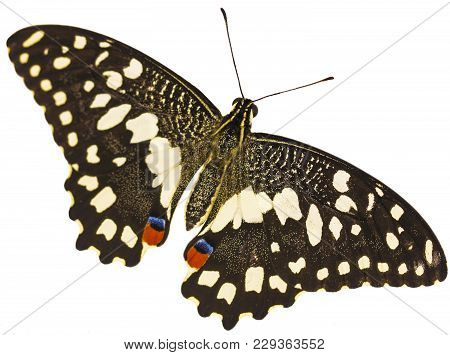 A Lime Swallowtail Butterfly, Papilio Demoleus, From The South-east Asia, With Its Wings Spread Isol