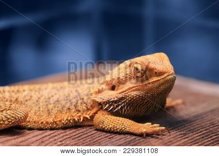 Great Reptile - Bearded Dragon Sitting On A Wooden Table And Looking In The Camera With Vigilance. B
