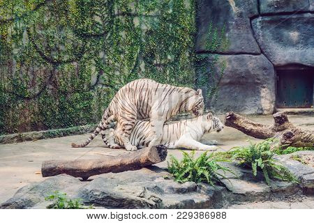 White Tigers Mate In The Vietnamese Zoo.