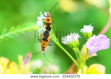 Two Firebugs Copulate In Sunny Morning. Firebug Nature Photography