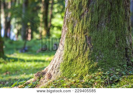Stump With Moss  In The Autumn Forest. Old Tree Stump Covered With Moss In The Coniferous Forest, Be