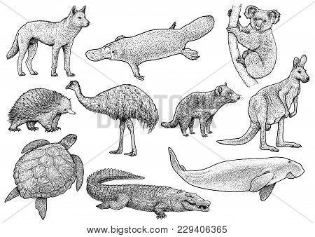 Australian Animal Collection Illustration, Drawing, Engraving, Ink, Line Art