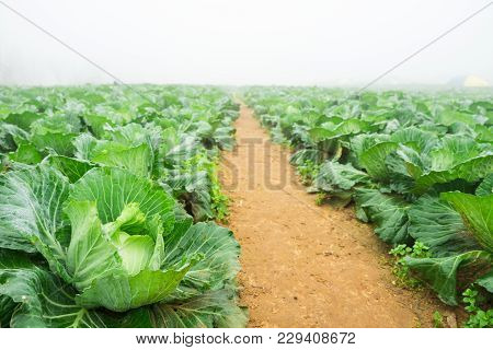 Fresh Cabbage In Harvest Field. Cabbage Are Growing In Garden.