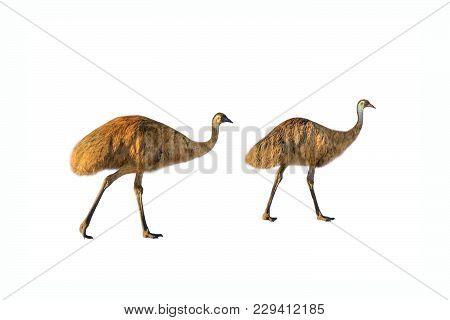 Two Emu, Dromaius Novaehollandiae, Walking, Isolated On White Background. The Emu Is The Symbolic Na