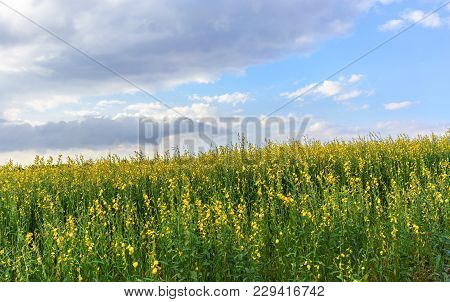 Beautiful Scenery Of Yellow Crotalaria Juncea Flower Or Sunn Hemp Flower Farm With White Clouds And