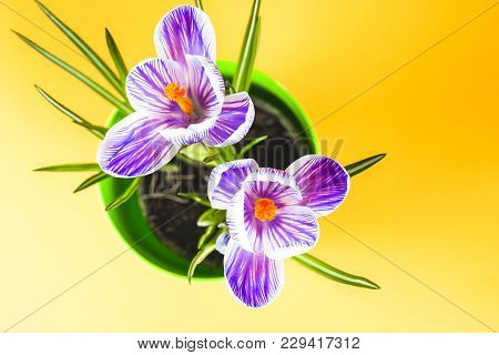 Crocus On Bright Colorful Background. Spring Flowers.