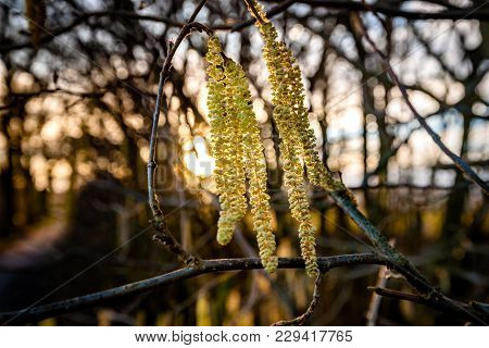 Flower Of Common Hazel (corylus Avellana) In Early Spring/ Blossoming Hazel Similar To Earrings , Su