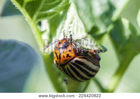 Colorado Potato Beetle Eats Potato Leaves, Close-up.