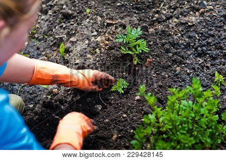 Planting Seedlings In The Open Ground In Early Spring. A Woman Farmer Is Holding Seedlings In Her Ha