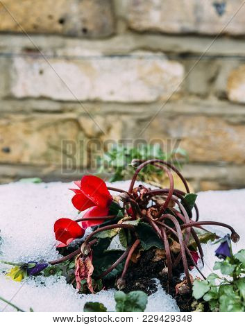 Close Up Of Garden Pansies In The Snow, Waiting For Spring, Captured In London, Uk During The Late W