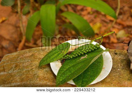 Sri-lanka, Species Garden, Black Pepper On Branch