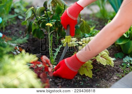 Photo Of Gloved Woman Hands With Tool Removing Weed From Soil.