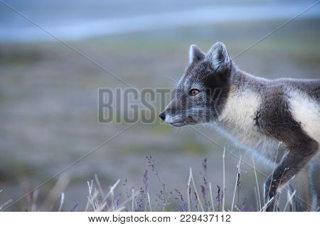 Wild Arctic Fox (vulpes Lagopus) In Its Summer Fur. The Fox Is Searching For Food In The High Arctic