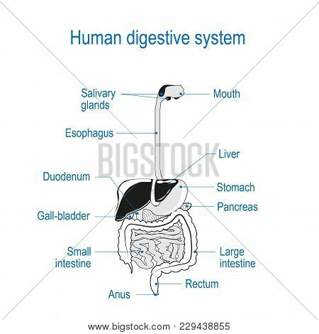 Human Digestive System. Location Of The Gastrointestinal Tract In The Human Body. Text Labels. Black