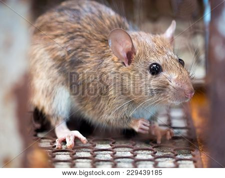 Rat Is Trapped In A Trap Cage Or Trap. The Dirty Rat Has Contagion The Disease To Humans Such As Lep